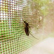 mosquito-19487